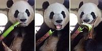 Kütür Kütür Bambu Ağacı Yiyen Panda